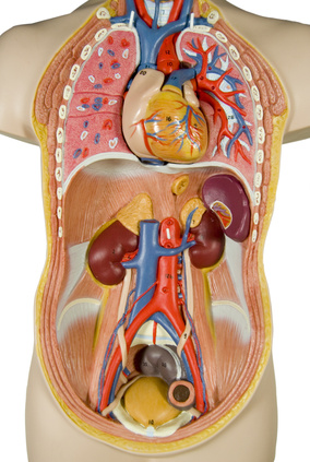 Organe Im Bauch
